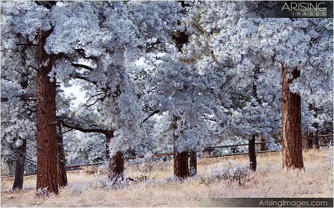 frosted trees at the ranch