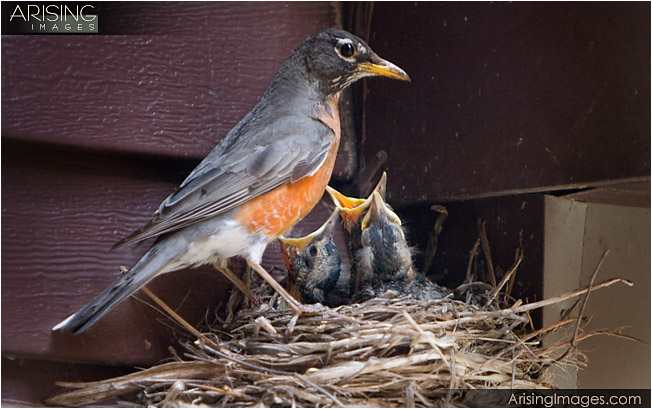 mother robin and her babies