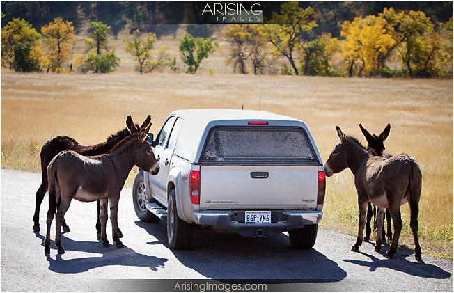 Donkeys, Custer State Park