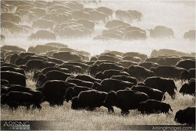 Big Buffalo Roundup in Custer State Park, South Dakota