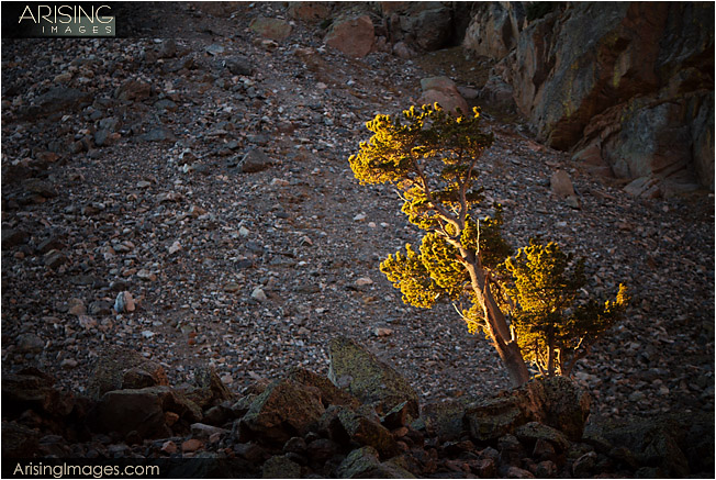 Tree by Emerald Lake at Sunrise, Rocky Mountain National Park