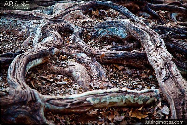 Tree roots near Sedona