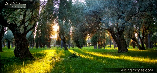Olive trees in Villa Adriana