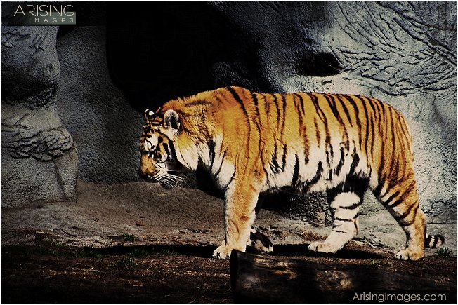 photos of tigers