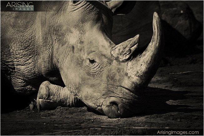 photos of rhinos