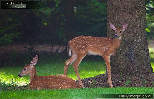 deer in our backyard