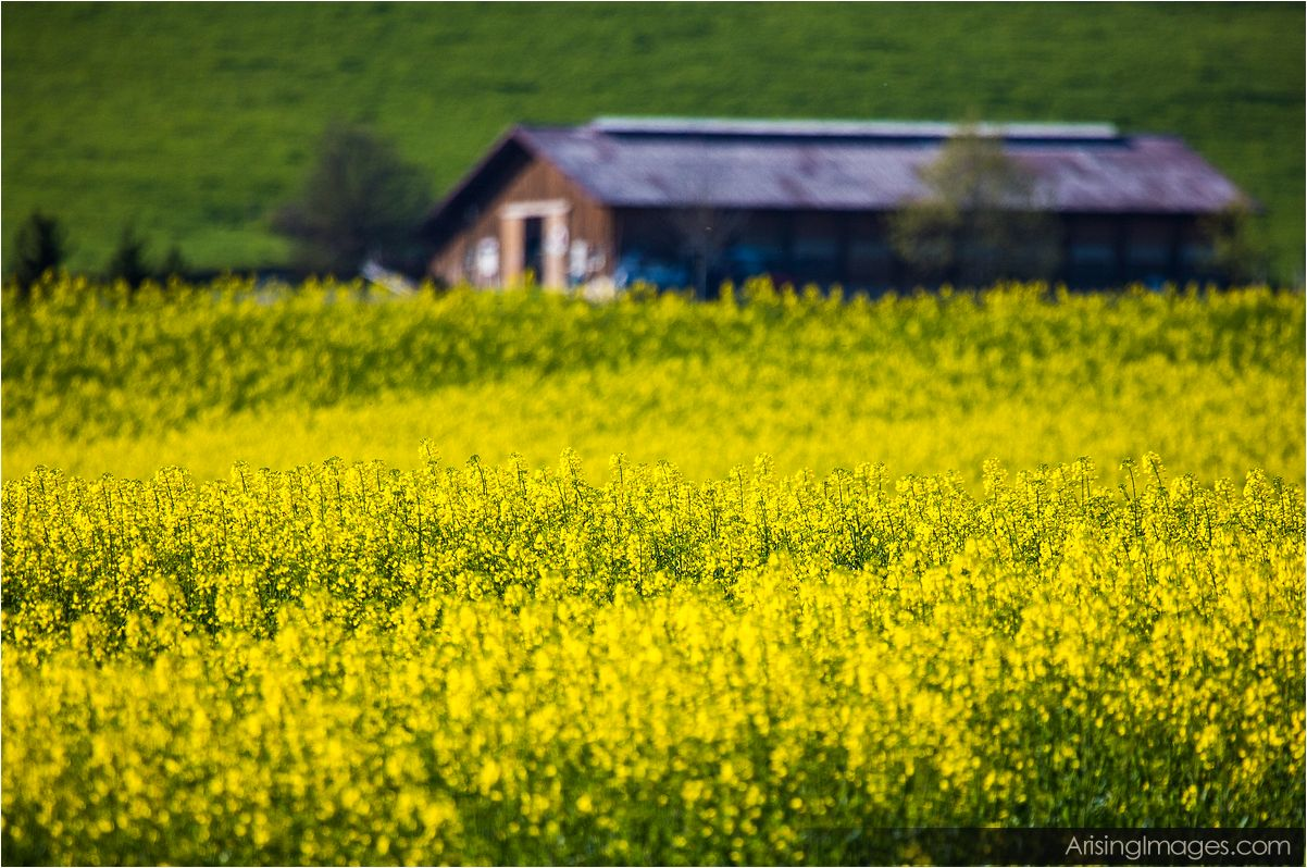 Canola fields in switzerland